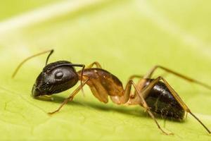 macro hormiga marrón