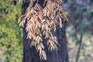 Ramitas de coníferas colgantes con hojas oxidadas en otoño