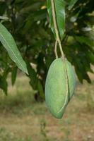 Raw green mango on the tree