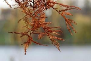 Conifer twigs with red needles