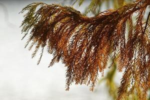 Close-up conifer branch with rusty leaves