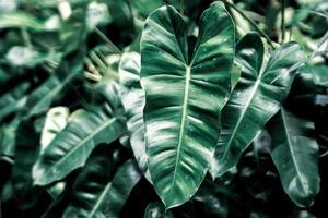 Dark green leaves background
