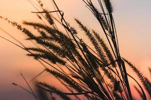 Silhouette of wild grass on sunset background photo