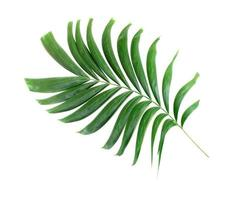 Green palm leaf isolated on white background photo
