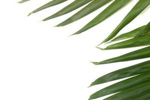 Hoja de palma verde aislado sobre fondo blanco. foto