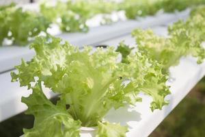 Frillice iceberg plants in a hydroponic farm photo