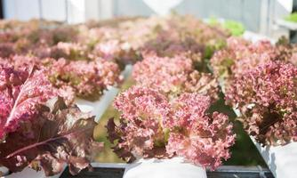 Red coral plants in a hydroponic farm
