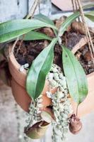 planta de jarra tropical