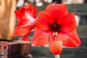 Red amaryllis flowers in a garden