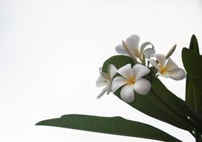 flores frangipani blancas y amarillas