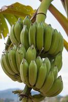 Bunch of bananas on a tree photo