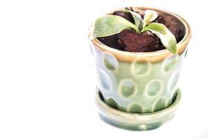 Planta en una maceta verde sobre un fondo blanco. foto