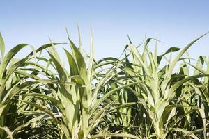 Close-up of corn plants
