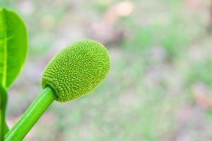 Small budding jackfruit photo