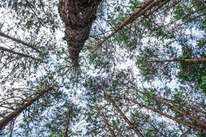 vista inferior de pinos silvestres