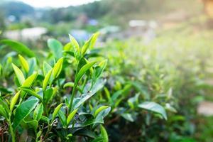 Green tea plant photo