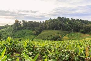 árboles de plátano en las colinas