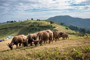 Herd of buffalo grazing on hill in rural farmland