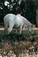 Gorgeous white horse eating grass