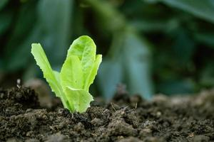 Lettuce sprouting on cultivated land