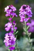 Soft focus of tall purple flowers photo