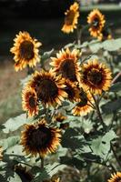 Sunflowers in the sunlight photo