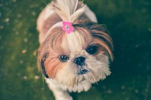 Adult shih-tzu dog standing on green grass