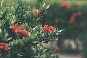 Red isor flowers photo