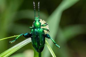 escarabajo en una flor, macro