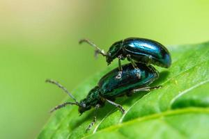 escarabajos en una hoja, macro