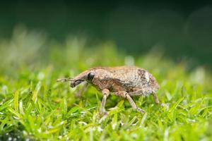 escarabajo sobre hierba, macro foto