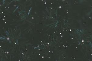 Dark pine tree background with snow