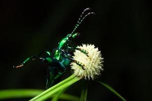 escarabajo en una flor, macro foto