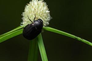 escarabajo macro en una flor