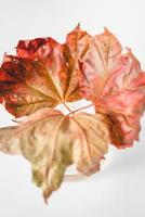 red and green maple leaf photo
