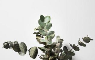 planta de eucalipto en el interior foto
