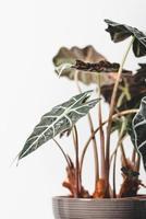 Green elephant ear plant in pot