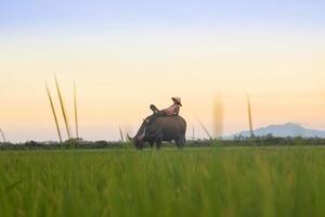 Person riding black buffalo on green fields photo