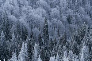 high angle of pine trees