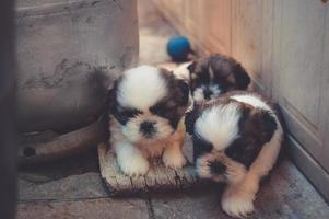 White and brown puppies together photo
