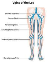 Information poster of veins of the leg