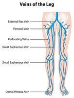 cartel informativo de venas de la pierna vector
