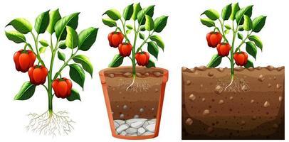 Conjunto de planta de pimiento con raíces aisladas sobre fondo blanco. vector