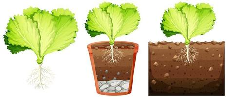 Set of cabbage plant vector