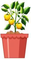 Planta de pimiento amarillo en maceta roja aislado sobre fondo blanco.