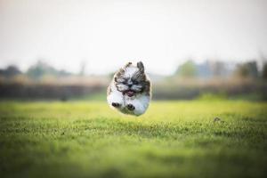cachorro feliz saltando y corriendo en el prado verde