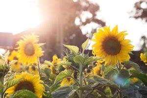 Sunshine on sunflowers