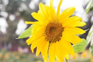 girasol amarillo brillante foto