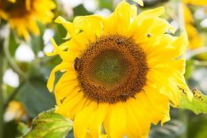 primer plano, de, un, girasol, con, abejas foto