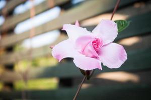Pink rose dipladenia